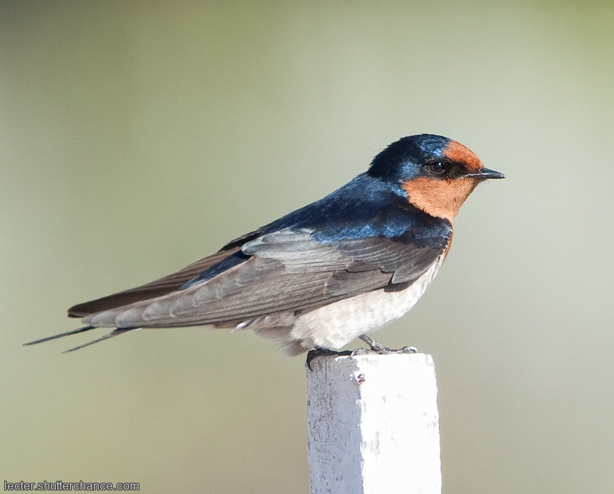photoblog image Swallow!! Easter Beckons . . . . .